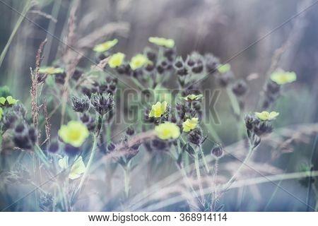 Flowering Yellow Flowers In Meadow, Beautiful Nature In Spring