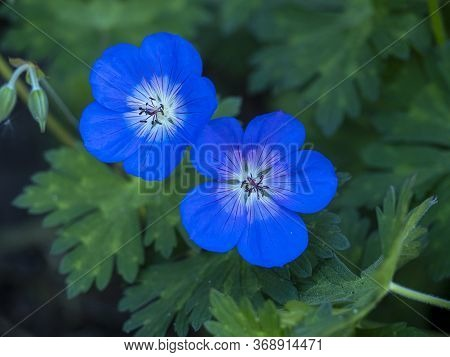 Closeup Of Two Beautiful Blue Flowers Of Cranesbill Geranium, Variety Rozanne