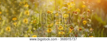Summer Rectangular Banner With Place For Text, Summer Meadow Of Yellow Flowers On A Sunny Warm Day