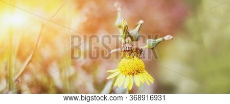 Summer Rectangular Banner With Place For Text, Closeup Bee Sits On A Yellow Flower