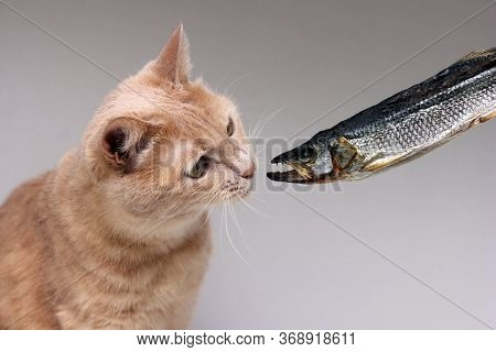 The Red Cat Sniffs Dried Fish. Concept Of Pet Food. Curious Cat.