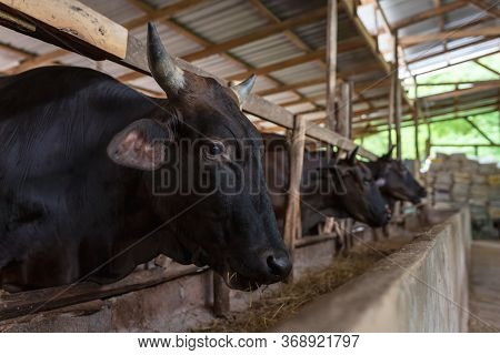 Wagyu - Japanese Shorthorn, Portrait Of A Wagyu Cow Of Japanese Origin In Farm Thailand