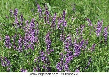 Vicia Sativa, Known As The Common Vetch, Garden Vetch, Tare Or Simply Vetch, Is A Nitrogen-fixing Le