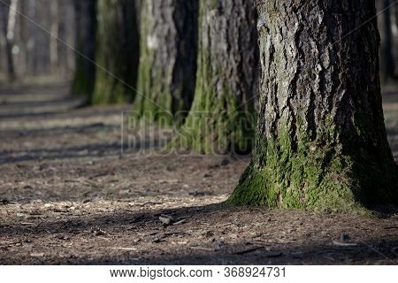 Large Tree Trunks Are Covered With Green Moss At The Roots. Trees Stand In A Row. Selective Focus