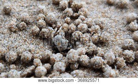 Sand Bubbler Crab rolls mud balls outside it's hole on beach