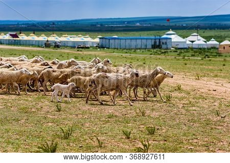 Sheep In The Grassland Of The Inner Mongolia With Yurt Tents In The Background