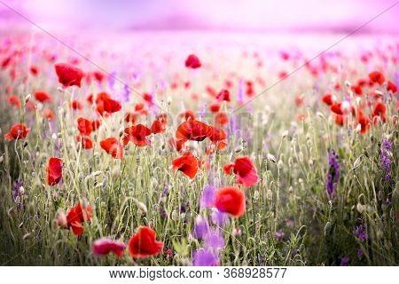 Poppy Flower Flowering In Meadow, Beautiful Nature In Spring