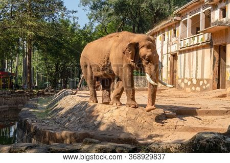 A Brown Elephant Walks In The Zoo Along The Edge Of The Reservoir. Elephant With White Tusks Near Th