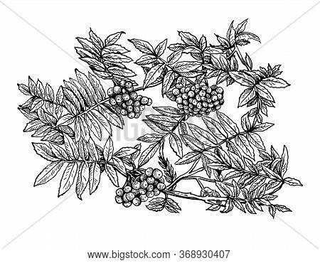 Hand Drawn Bush Branch And Berry Of Rowan With Leafs. Drawing Sketch Of Forest Fruit. Ink Line Botan