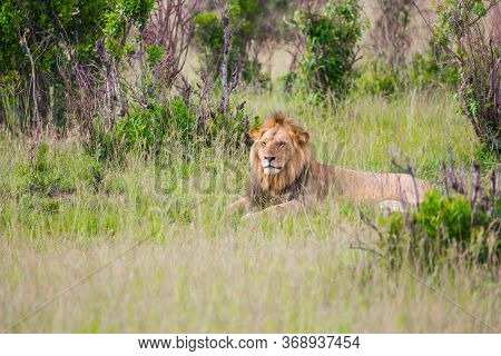 Kenya, Masai Mara Park. Young African lion with a small mane is resting in the shade.  safari in spring in the African savannah. Concept of exotic, extreme tourism and photo tourism