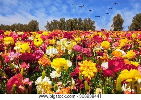 Multi-colored large garden buttercups. Beautiful sunny spring day. The southern border of Israel, a kibbutz field. Ecological, botanical and photo tourism concept