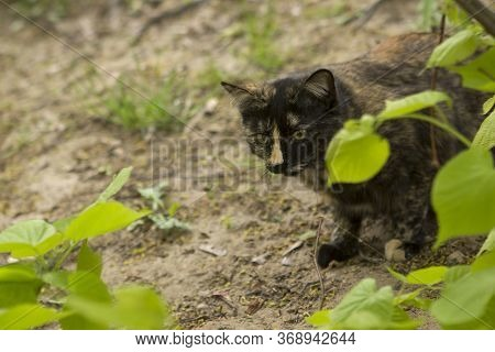 Tricolor Cat Hiding Or Hunting In The Grass And Leaves In The Garden