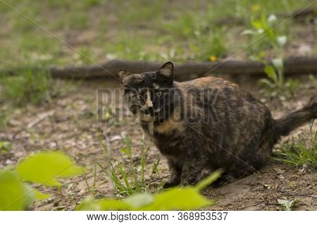 The Tricolor Cat Is Frightened And Looks Warily, Wants To Run Away. Cat In The Yard Among The Greene