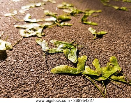 Beautiful Unusual Background: Maple Seeds Or Ash Seeds Lying On Asphalt, Illuminated By The Soft Ray