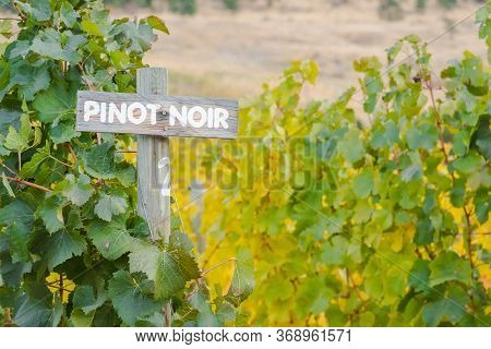 Pinot Noir Sign With Autumn Grapevines In Vineyard