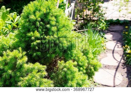 Conica Spruce. Canadian Spruce. Young Green Needls Of Spruce