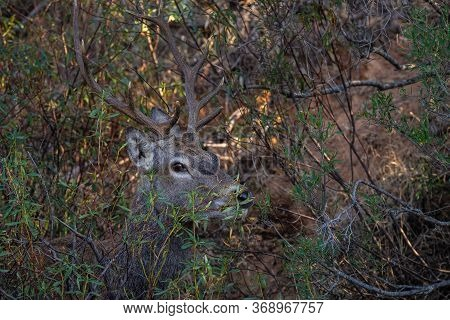 Deer Are The Ruminant Mammals Forming The Family Cervidae. Monfrague National Park. Spain.