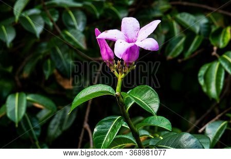 Cute Purple Flowers With Deep Green Leaves From Inside The Ancient Mayan City Of Tulum In Quintana R