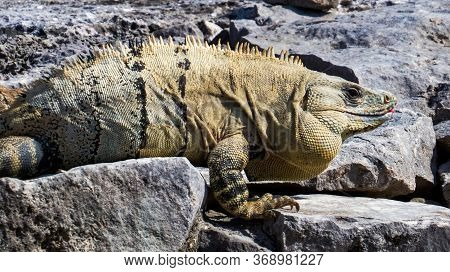 Big Tropical Lizard Walking To A Warmer Stone In The Ancient Mayan City Of Tulum In Quintana Roo, Me