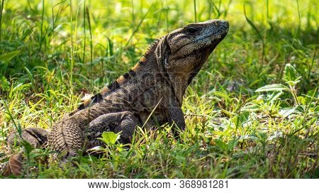 Tropical Lizard In The Green Grass Of The Ancient Mayan City Of Tulum In Quintana Roo, Mexico.