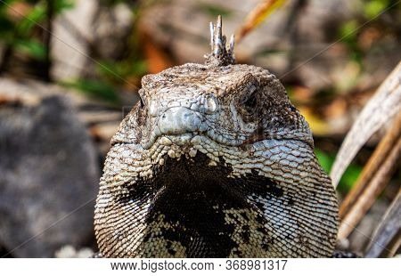 Front Of The Face Of A Tropical Lizard With A Blurry Background From Inside The Ancient Mayan City O
