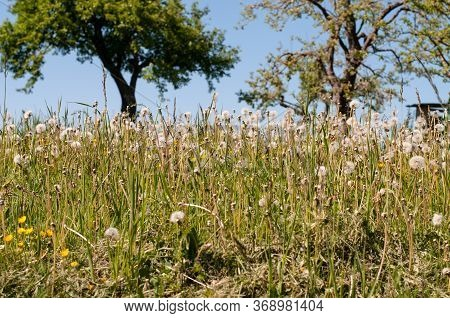 Many Dandelion Plants With Fluffy Seed Heads In An Uncultivated Meadow In Late Springtime