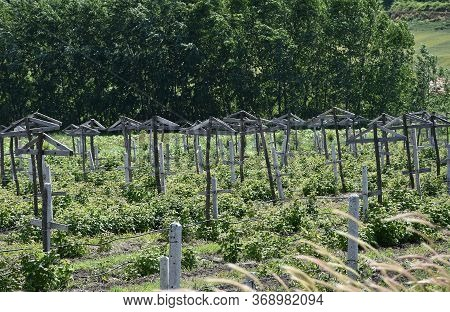 Unusual Orchard In Rural Part Of The Country