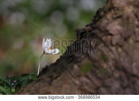 White Spring Flower Called Wood Anemone, Anemone Nemorosa Or Windflower Growing Next To Tree.