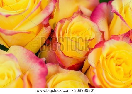 Spring Red And Yellow Rose Flower In The Garden. Macro Red Yellow Rose. Flower Beauty Red Yellow Col