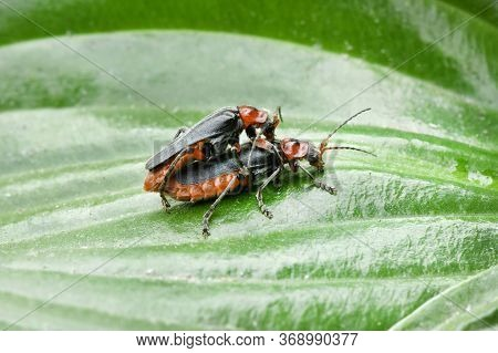 Two Soldier Beetle (cantharis Livida) Mating On A Lily Leaf Coleoptera. High Resolution Photo. Full