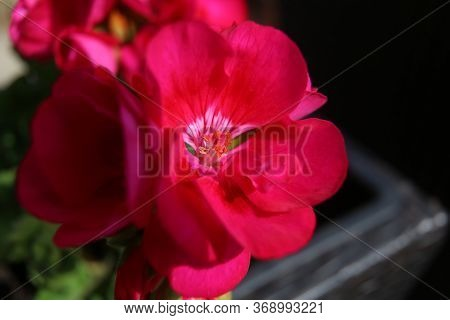 Pink Geranium Flower With Pestle And Stamens In Macro
