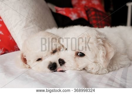 White Bichon Frise Puppy On A Soft White Fur Blanket Looking At The Camera. Cute Little Lap Dog, Swe
