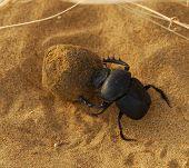 "Scarab beetle rolling a ""ball"" in Tar Desert Rajastan India poster"