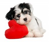 A cute lover valentine havanese puppy dog with a red heart isolated on white background poster