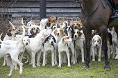 A pack of hounds ready for action poster