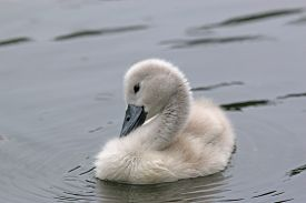 Cygnet Baby Swan Swimming In A Lake