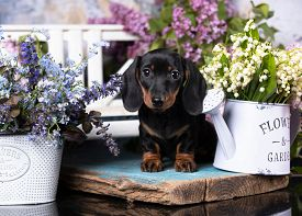 dachshund puppy black  tan color and lilac purple