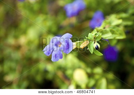 Purple Impatiens India Wild Flower With Bud