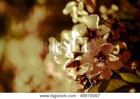 Red chokeberry flower / Aronia arbutifolia