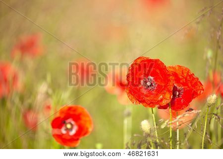 Red poppies  with out of focus poppy field in background.