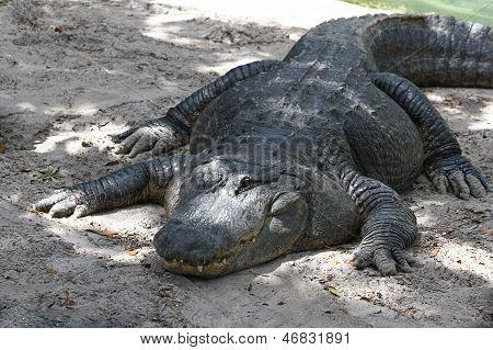 one-eyed alligator