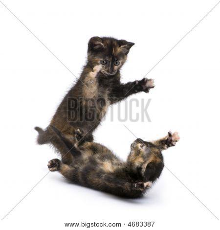 Two Tortoiseshell Kitten (2 Months)