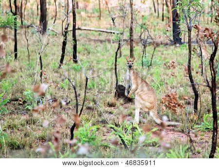 Kangaroo in wild, Australia