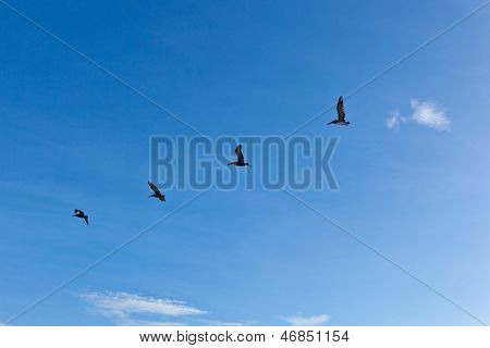 Flock Of Pelicans In The Air