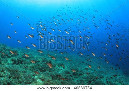 Fish in Mediterranean Sea (Damselfish)