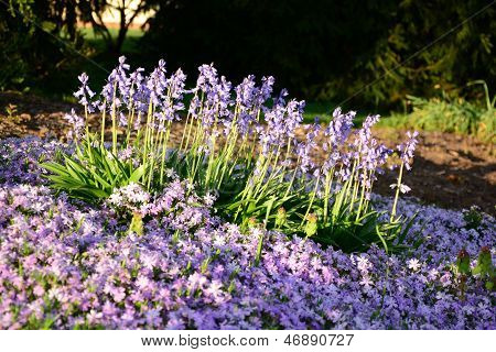 Phlox Grape hyacinth