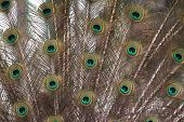 Colourful Peacock Feathers Fully Extended. Blue Green And Yellow. poster