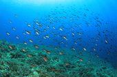 Fish in Mediterranean Sea (Damselfish) poster