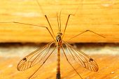 A mosquito sitting on yellow wall indoor. Extreme close-up. poster