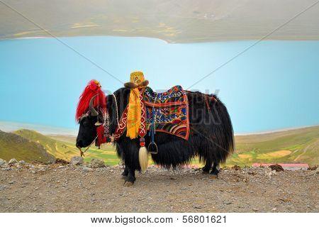 Tibetan Yak at Namtso Lake near Lhasa